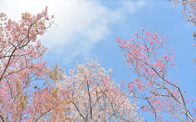 Blühende kirschbäume im frühjahr