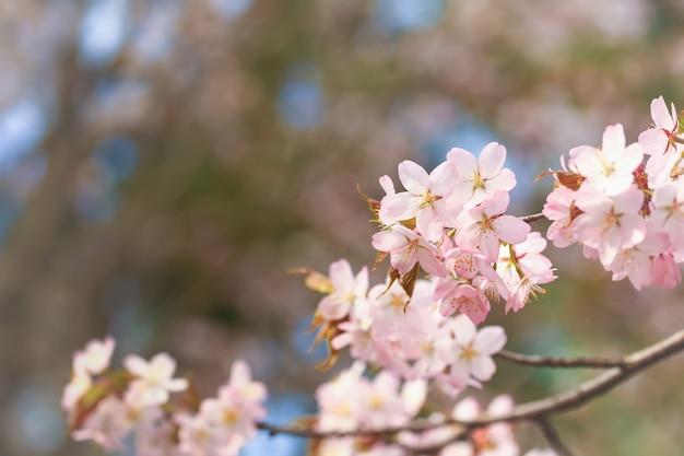 Blühende kirschblüte, leichter hintergrund des frühlinges. apfel blüht selektiven weichzeichner