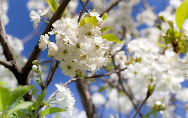 Blühende kirsche in einer frühlingssaison. geringe schärfentiefe