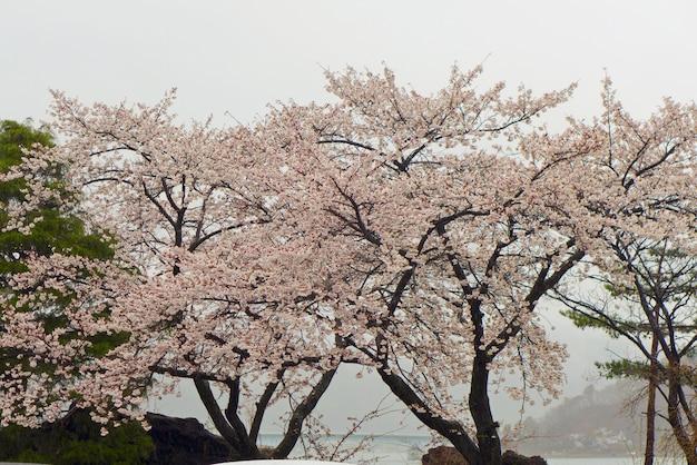 Blühende kirsche - kirschblüte-bäume mit dem seehintergrund in japan
