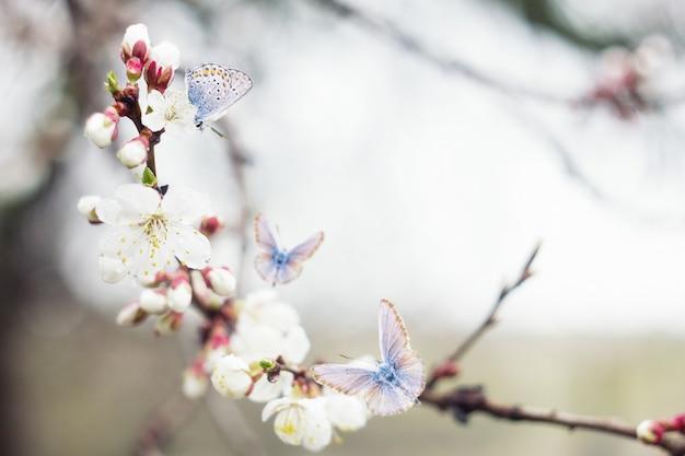 Blühende kirschzweige des zweigs mit blauen schmetterlingen, natürlicher frühlingshintergrund