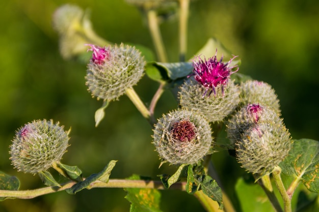 Blühende klette (arctium lappa)
