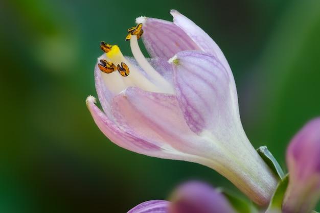 Blühende knospe der mehrjährigen blume hosta im sommergarten.
