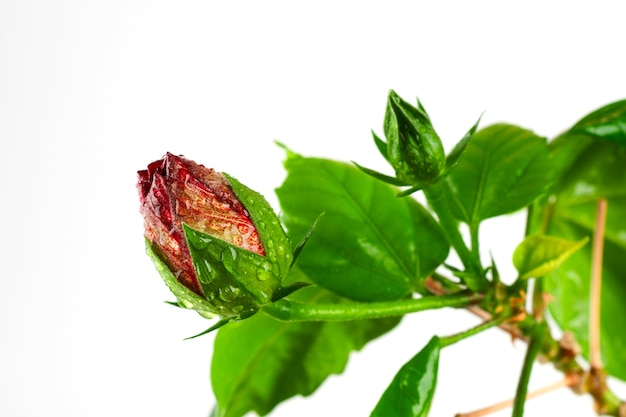 Blühende knospe rosa-sinensis in wassertropfen auf einem weißen hintergrund