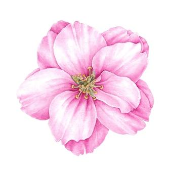 Blühende knospe von sakura.