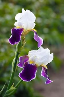 Blühende knospen der iris im sommergarten