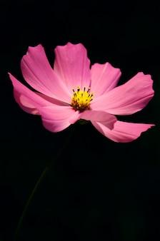Blühende kosmosblumen der makroansicht. frühjahrlandschaft mit bündel rosa blumen.