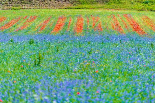 Blühende kultivierte felder, berühmte bunte blühende ebene im apennin, hochland von castelluccio di norcia, italien. landwirtschaft von linsenernten, rotem mohn und blauen kornblumen.