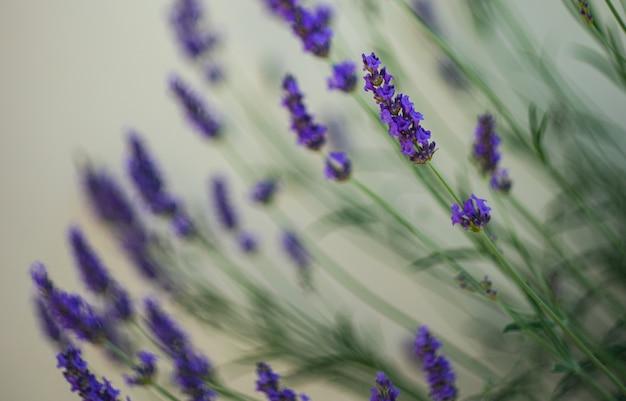 Blühende lavandula-pflanze in einem sommergarten