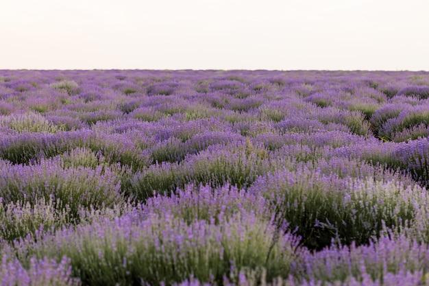 Blühende lavendelfelder in moldawien