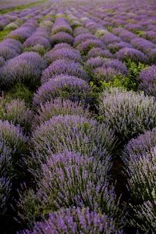 Blühende lavendelfelder