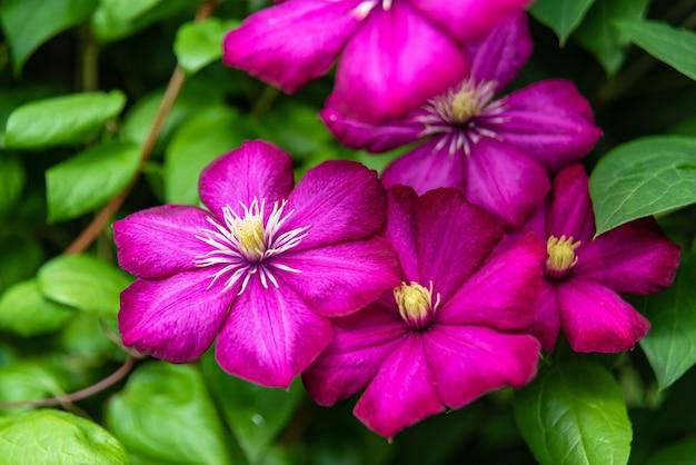 Blühende lila clematis im garten am sonnigen tag.