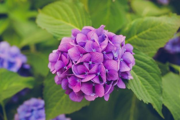 Blühende lila hortensien und blätter schließen den hintergrund