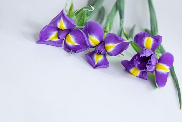Blühende lila irisblüten auf weiß. frühlingsblumen