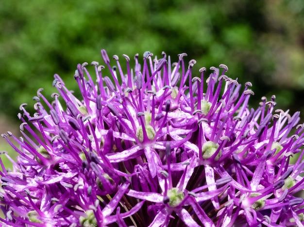 Blühende lila lauchblumen-nahaufnahme auf einem verschwommenen hintergrund. eine schöne helle blume des lauchs.