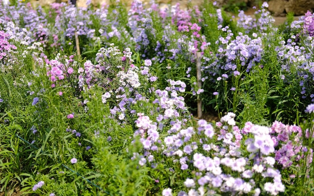 Blühende lila magarettblume im pflanzenfeld