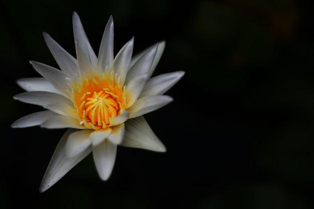 Blühende lotosblumen auf dem hintergrund des dunklen schwarzen