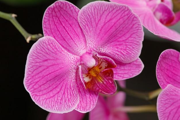 Blühende magentarote orchideenblumen