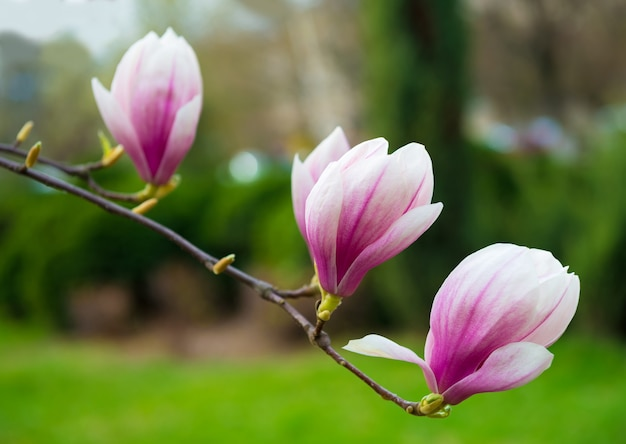 Blühende magnolienblüten im frühling