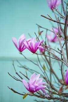 Blühende magnolienblumen im stadtpark.