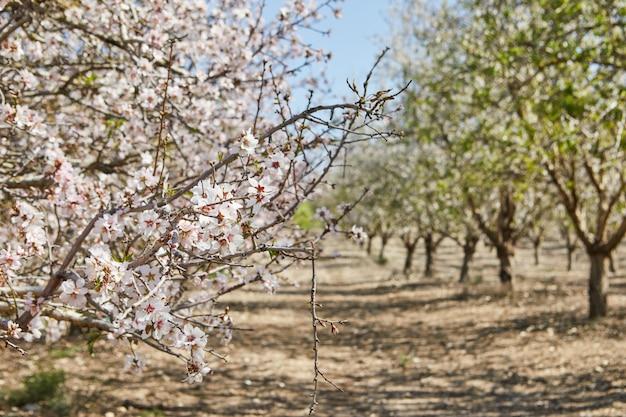 Blühende mandelbäume im zeitigen frühjahr