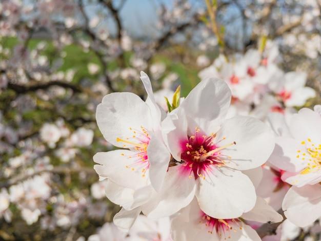 Blühende mandelbäume in katalonien