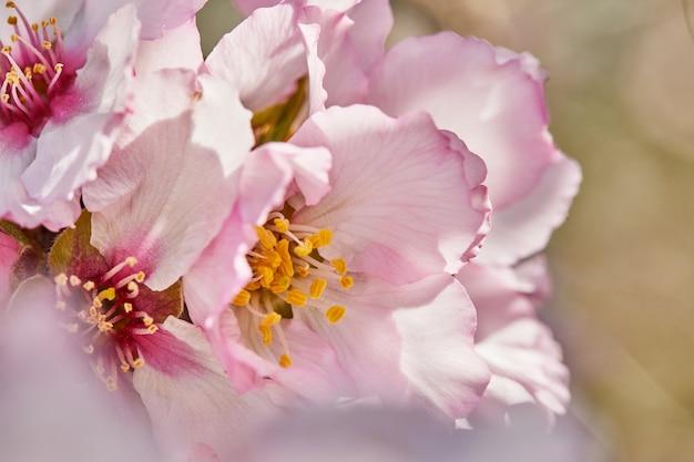 Blühende mandelbaumblumen schließen oben