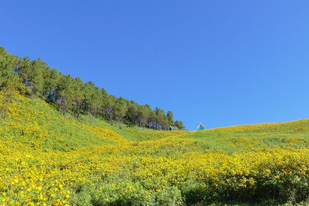 Blühende mexikanische sonnenblume auf dem hügel