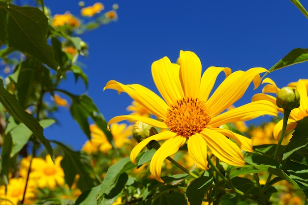 Blühende mexikanische sonnenblume