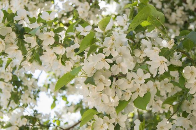 Blühende niederlassungen von apfelbäumen gegen den blauen himmel und das sonnenlicht