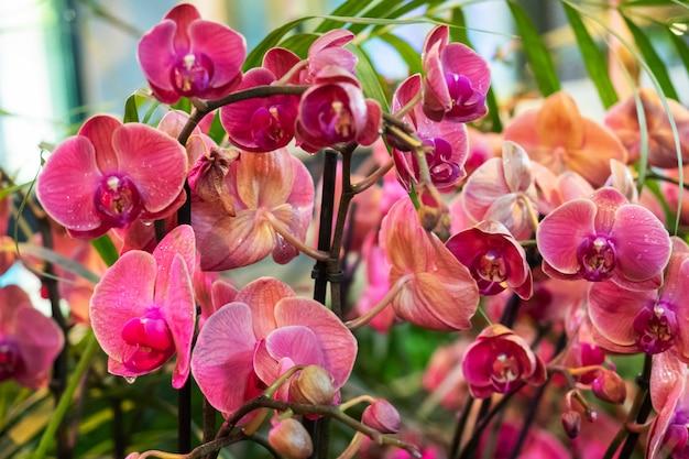 Blühende orchideen im gewächshaus. farbige orchideenblumen wachsen in einem tropischen wintergarten.