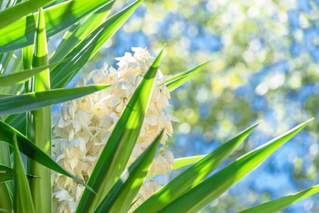 Blühende palme wohlriechender yucca blüht auf dem unscharfen grünen und blauen scheinhintergrund.