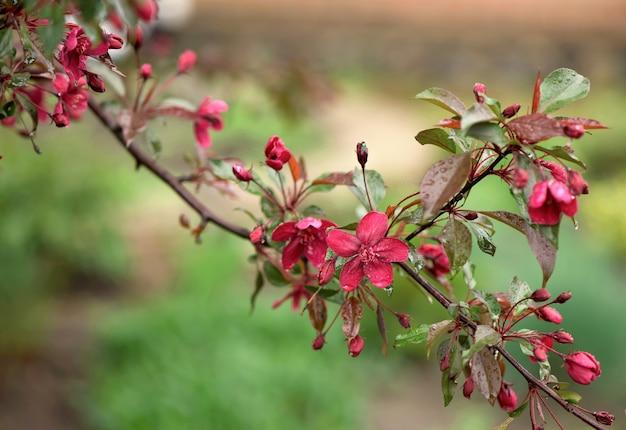 Blühende paradies-apfelbaumknospen. wunderbarer natürlicher hintergrund mit rosa blumen auf einem zweig.