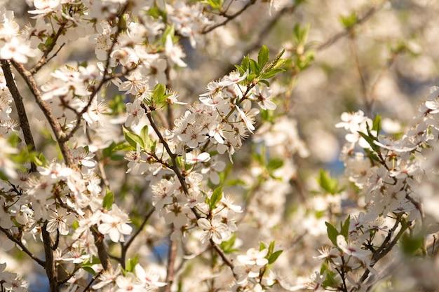 Blühende pflaumen an einem sonnigen tag