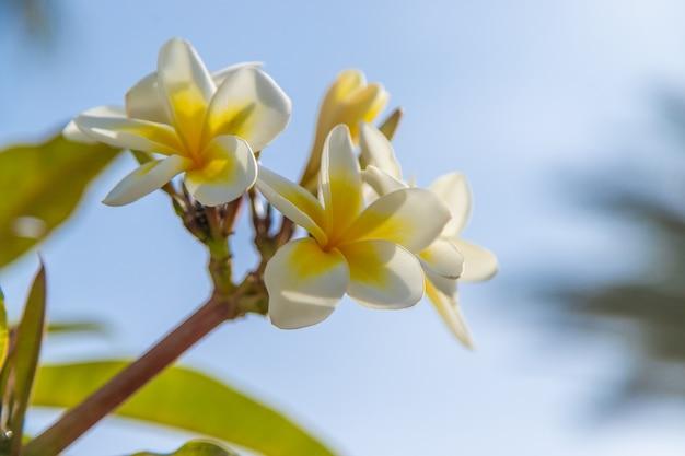 Blühende plumeria gelbe blumen gegen den himmel