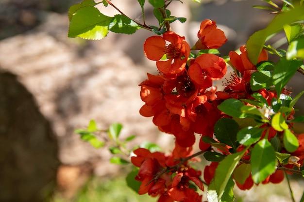 Blühende quitte blüht im frühjahr rote blüten von chaemnomeles japonica quitte selektiver fokus