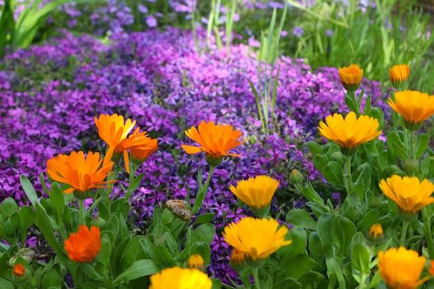 Blühende ringelblume und lila phlox im garten