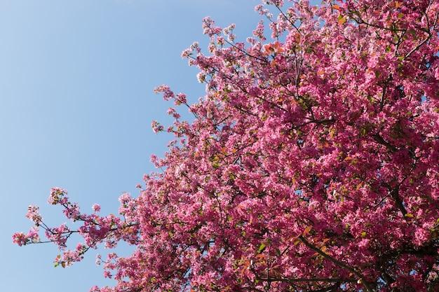 Blühende rosa apfelbaumspitze auf blauem himmelhintergrund