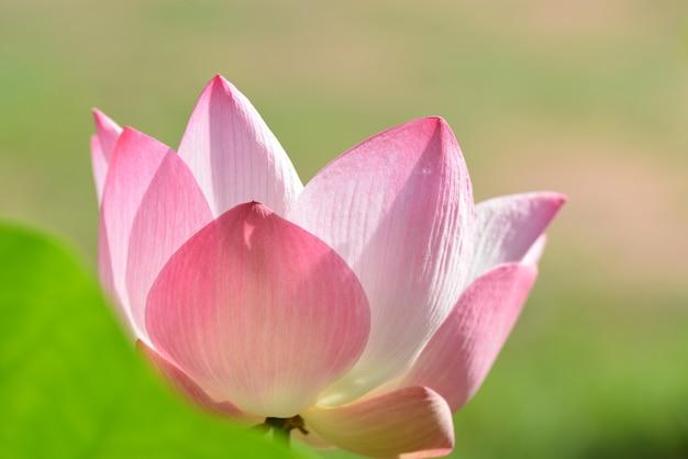 Blühende rosa blumen mit grüner blattnahaufnahme für hintergrund