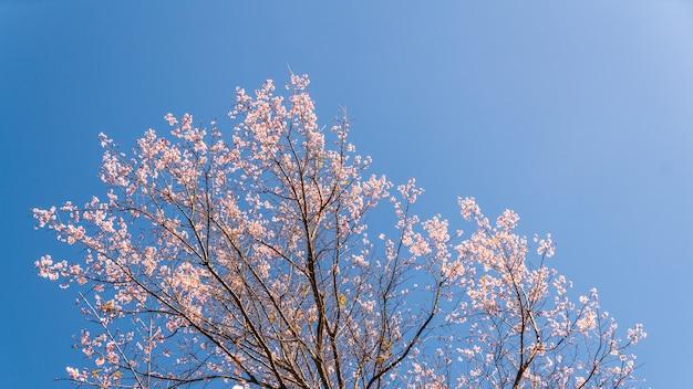 Blühende rosa blumen prunus cerasoides