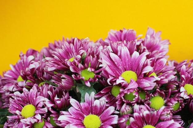 Blühende rosa chrysanthemenblumen auf gelbem wandhintergrund
