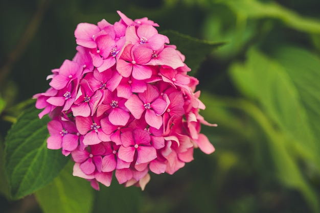 Blühende rosa hortensienblume