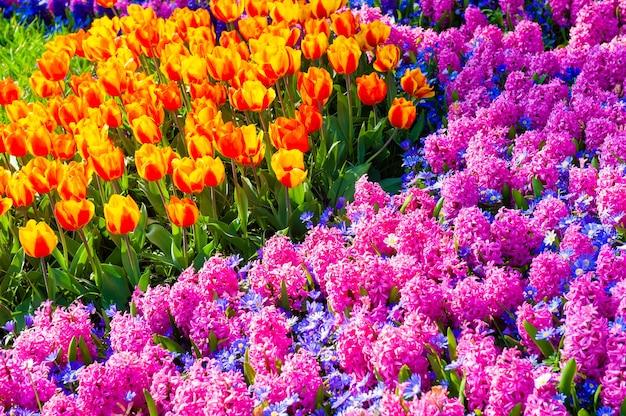 Blühende rosa hyazinthe und gelbe tulpenblüten im frühling