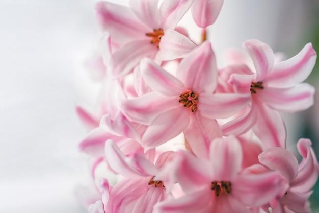 Blühende rosa hyazinthen, frühlingsblumenhintergrund.