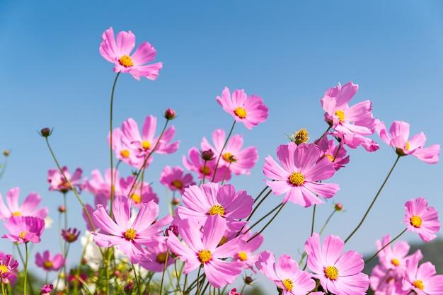 Blühende rosa kosmosblumen