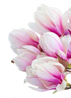 Blühende rosa magnolienbaumblumen schließen gegen weißen hintergrund