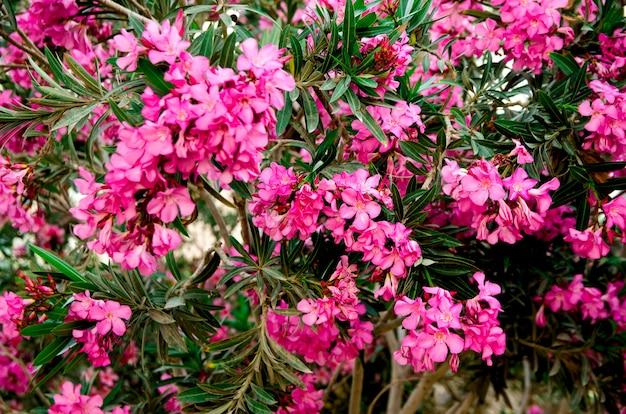 Blühende rosa oleanderblumen oder nerium im garten. selektiver fokus
