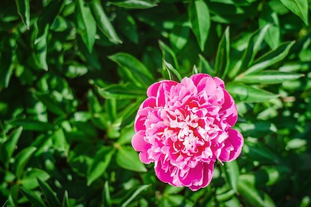 Blühende rosa pfingstrosenblume im garten