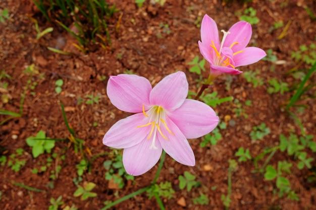 Blühende rosa regenlilienblüten im regenwald