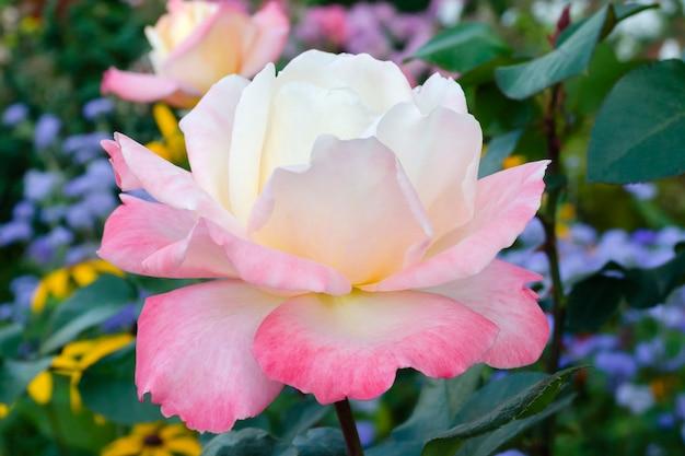 Blühende rosa rosenblume im garten